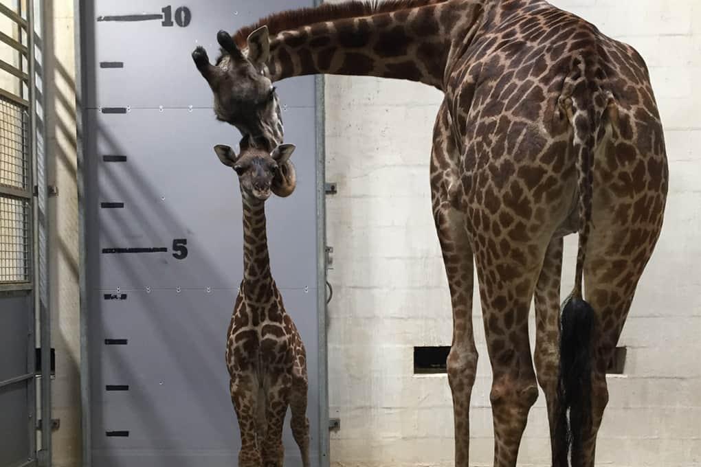 Tatu_Giraffe