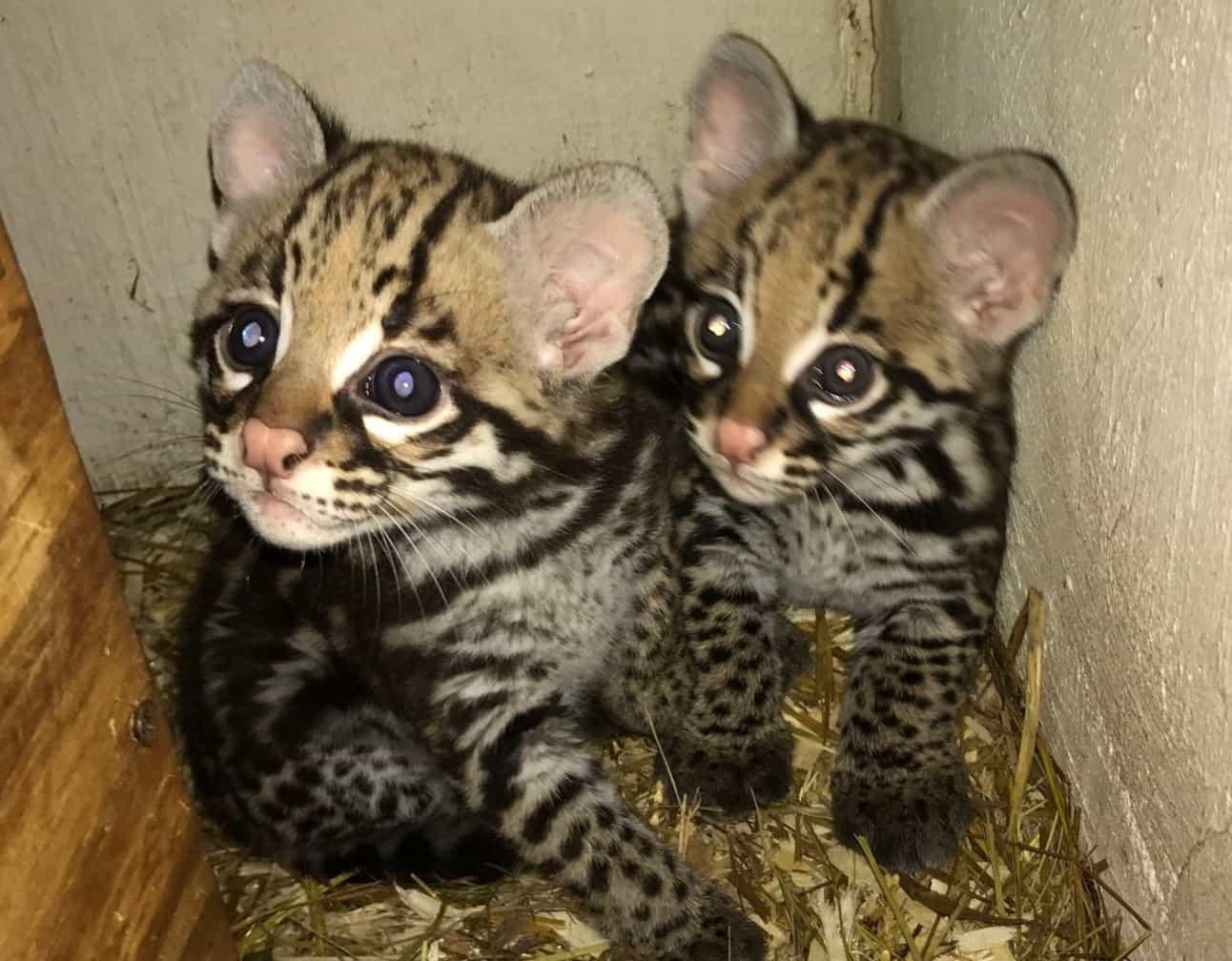 Greenville Zoo welcomes two ocelot kittens - GREENVILLE JOURNAL