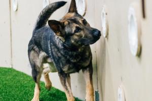 Cuando las personas van a faltar, estos de búsqueda y rescate, perros de encontrar - Greenville Diario 5