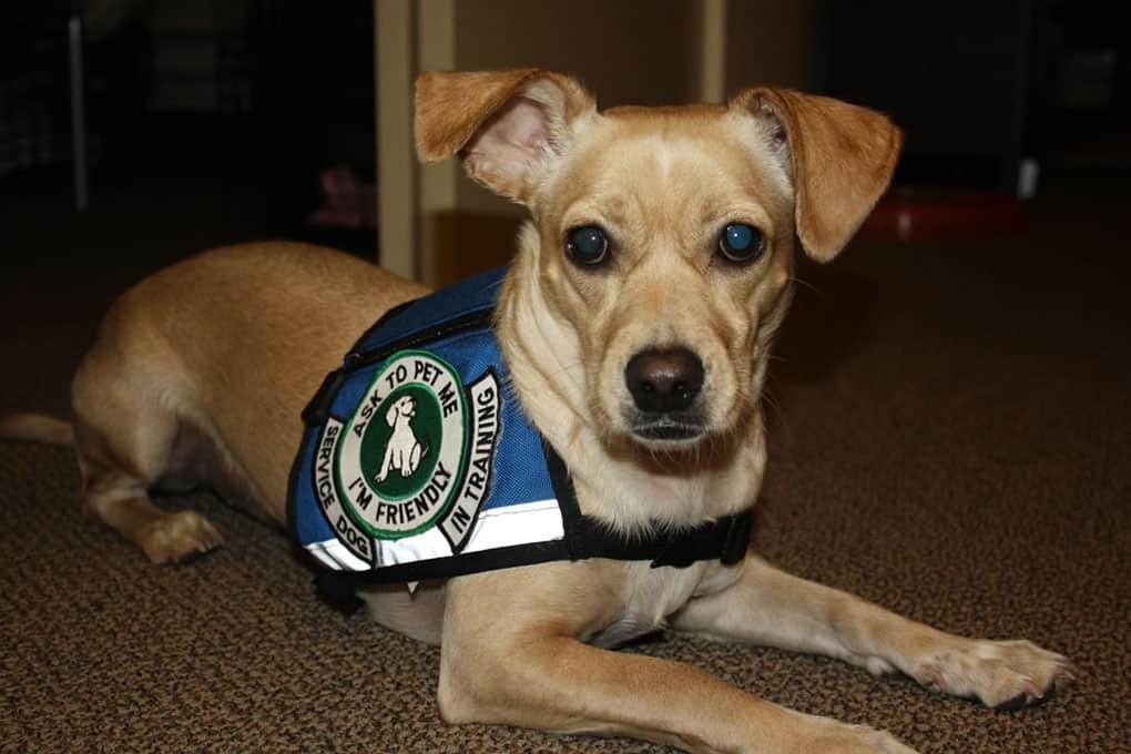 Service Dog Training Greenville Sc