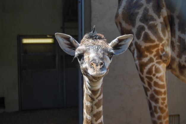 giraffe Greenville Zoo