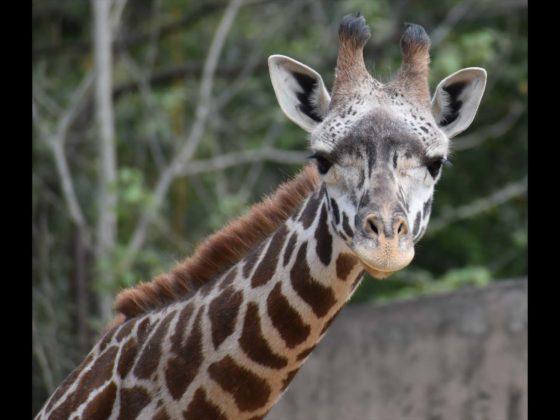 Kiden the Masai giraffe